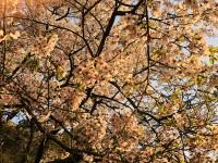 さやかのブログ:夕桜??